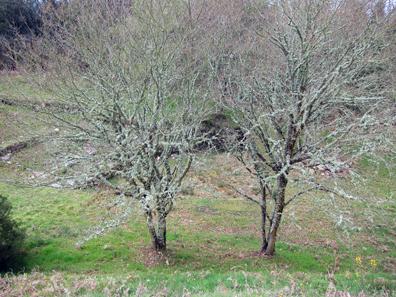 Bemooste Bäume. Foto: KW.
