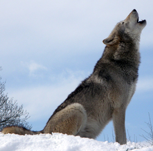 Howling wolf in Dakota, USA. Photo: Retron / Wikipedia.