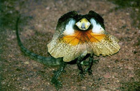 Frill-necked lizard. Photo: Miklos Schiberna / Wikipedia.