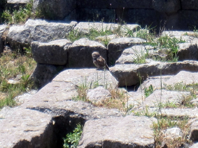 Little Owl, waiting for us in broad daylight at the entrance of Pergamum. Photo: KW.