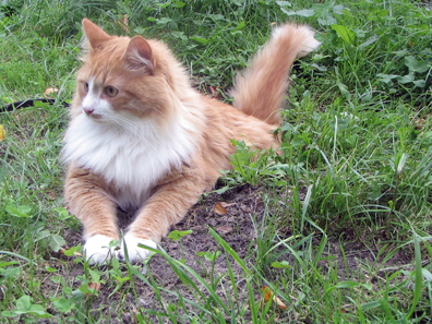 Siberian cat Tofik. Photo: Mstachul / http://creativecommons.org/licenses/by-sa/3.0/deed.en
