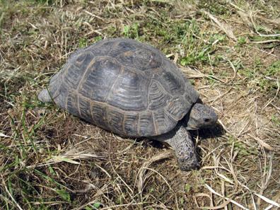Griechische Landschildkröte, auch wenn sie in der Türkei lebt. Foto: KW.